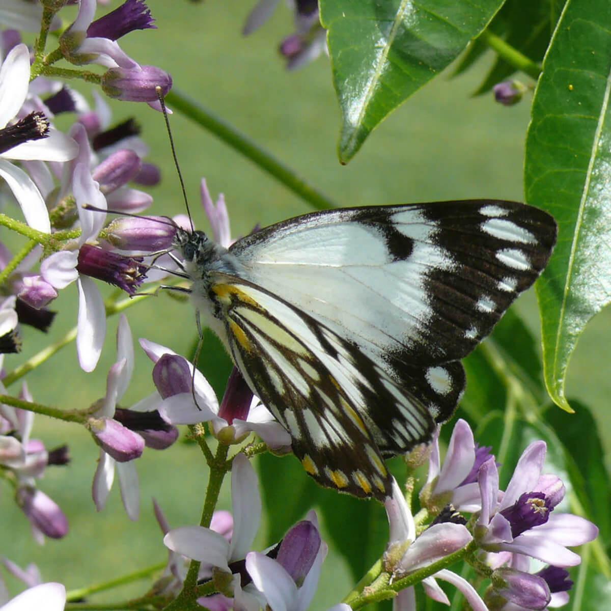 cedarview-butterfly