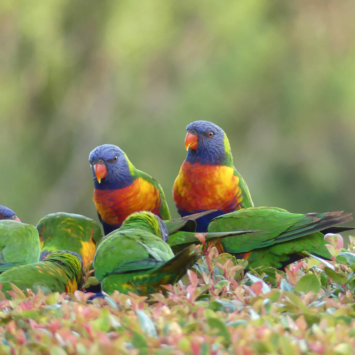 cedarview-lorikeets