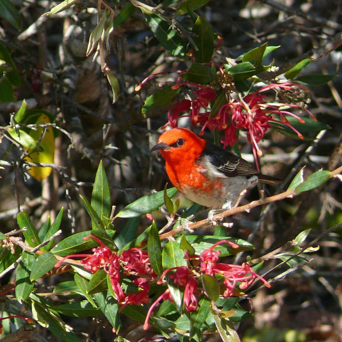 cedarview-scarlet-honeyeater
