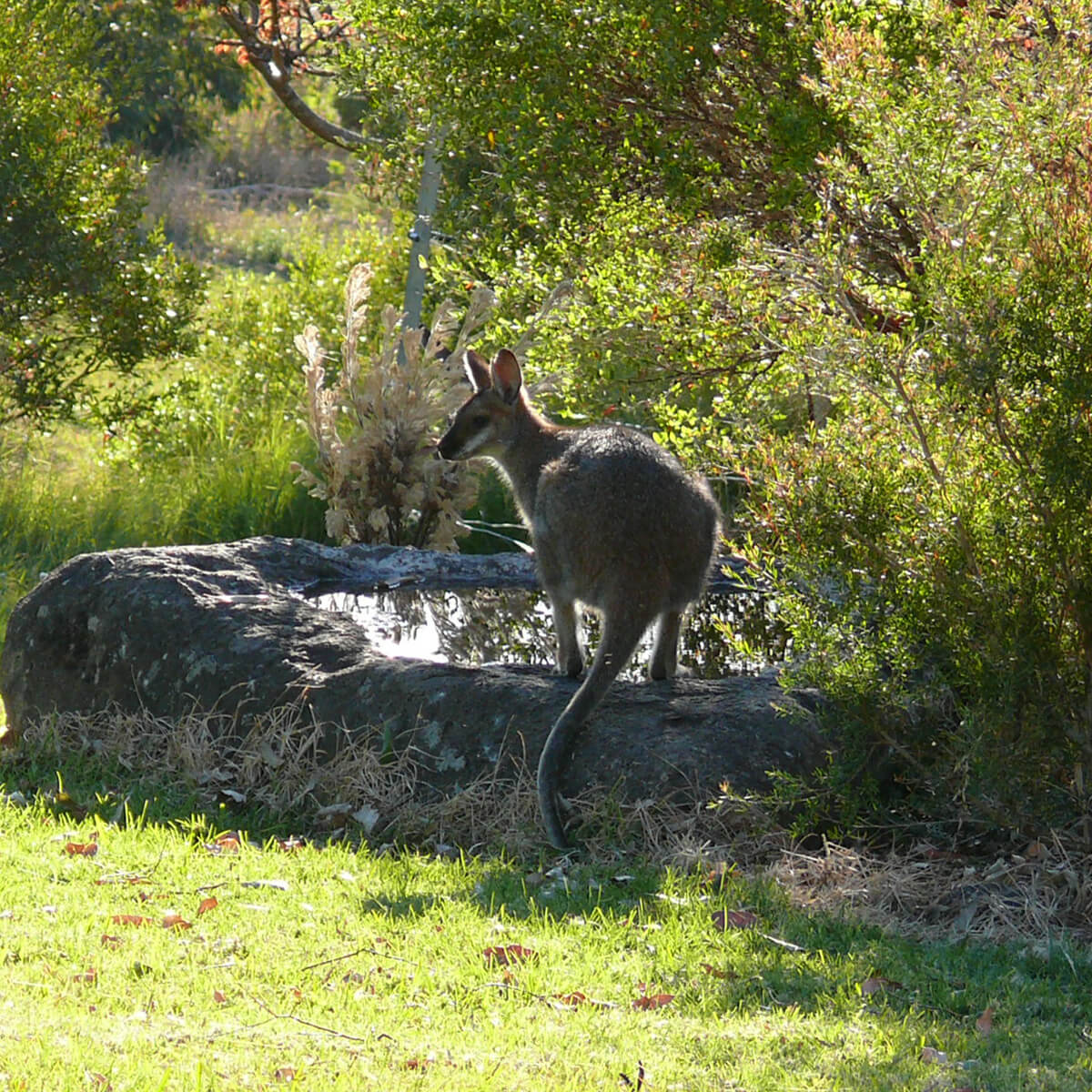 cedarview-wallaby